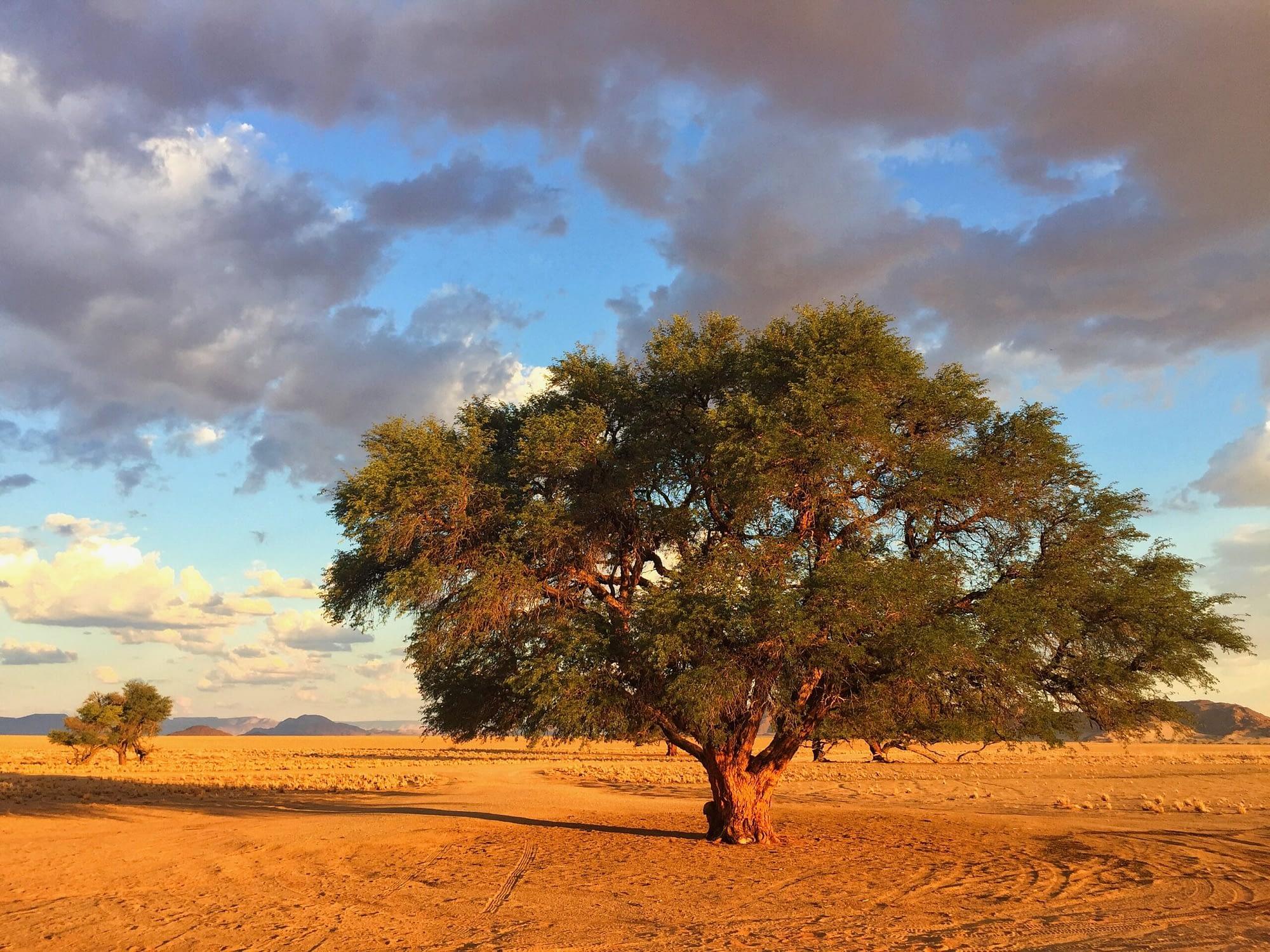 Bigh tree in the desert before sunset